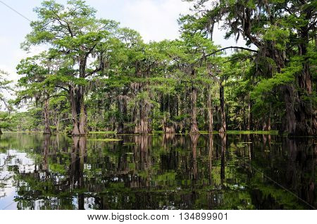 A stand of beautiful Bald Cypress trees in a Louisiana Swamp