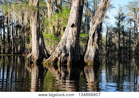Massive Bald Cypress trees in a pristine Louisiana swamp