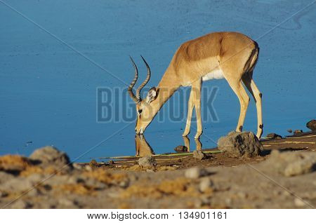 Gazelle drinking at the waterhole, Etosha Park