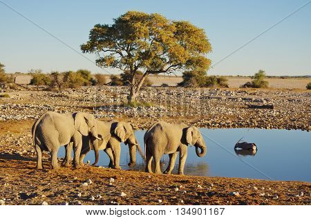 Group of elephants drinking at the waterhole, while an Oryx takes a bath