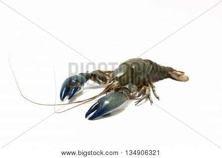 Crayfish cherax destructor shrimp crust on white background