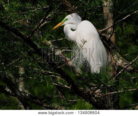A Great Egret showing breeding colors in a South Louisiana rookery.