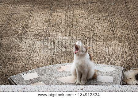 Cute kitten cat sitting and  yawning pet