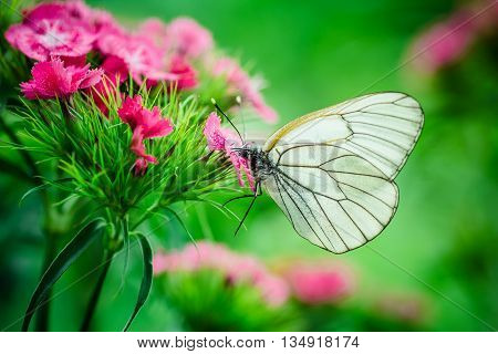 butterfly on pink carnation summer nature silhouette garden macro