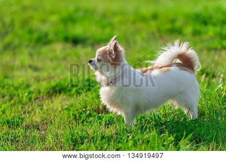 sunny  Chihuahua dog with  glamorous  pink collar on summer  nature background