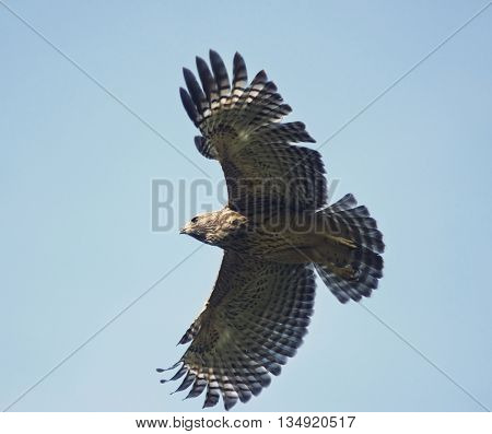 Young Red Shouldered Hawk in Flight