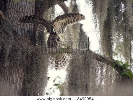 Barred Owlet stretching its wings
