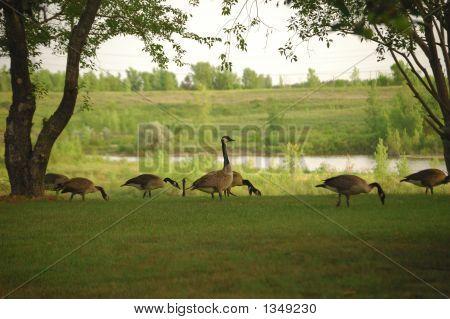 Goose Lookout