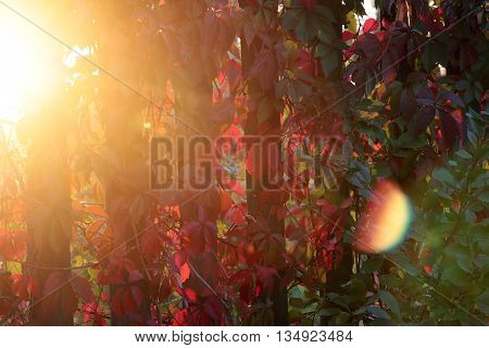 solar brightly lit leaves of wild grapes