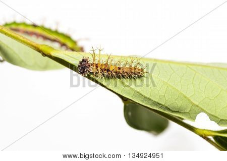 Caterpillar Of Colour Segeant Butterfly In 4Th Instar