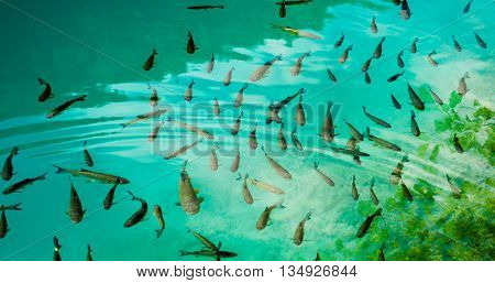 A photo of fishes swimming in a lake, taken in the national park Plitvice, Croatia