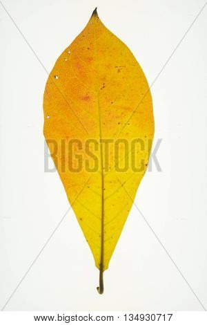 Dry leaves isolated on whitegolden yellow leaf texture pattern autumn fall grunge vintage herbarium abstract background