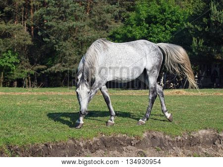 The beautiful grey horse gracefully walks on a meadow