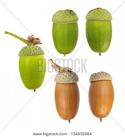 five oak acorns isolated on white background