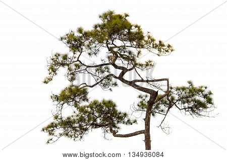 Conifer tree on white background, object pine tree element