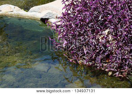 Cluster of invasive purple plant. Tradescantia pallida