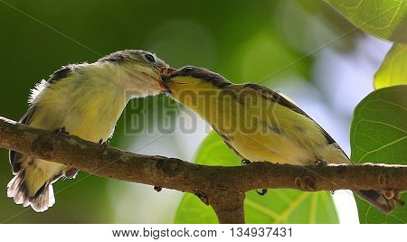 Golden-bellied Gerygone feeding fledgling near Songkhla, Thailand