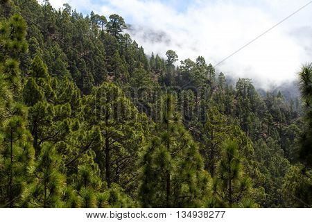 Forest of Pinus canariensis. Pine tree in Tenerife, dirt road Pinolere to Teide