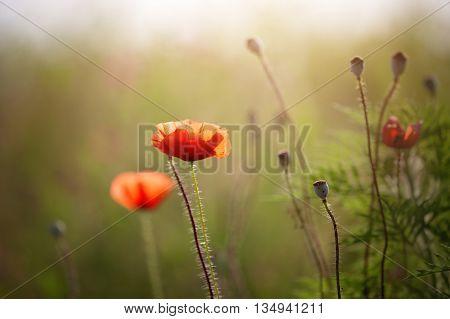 Beauty vintage poppy flower against sunlight. Field