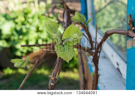 A few green leaves of a grape vine