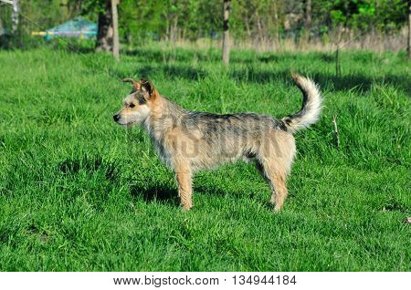 The dog, mongrel, young, male. A dog stands on a meadow.