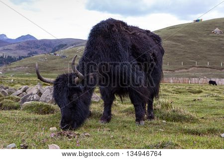 Tibetan Yak in the mountains. animal in nature