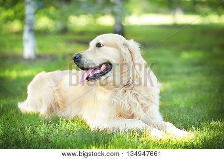 Big kind dog in the park