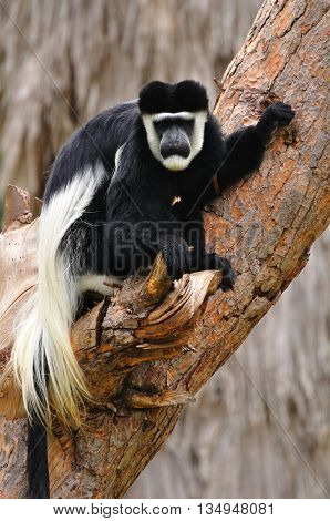 Monkey of Colobus guereza kind in safari park. Central Israel.