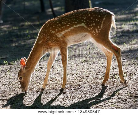 Deer in backlighting located in the forest.
