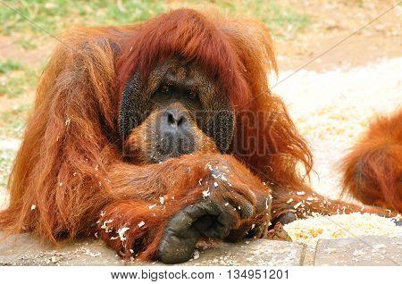 Orangutan ape in safari park. Central Israel.