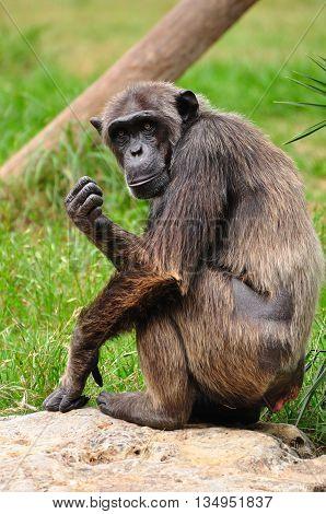 Chimpanzee ape in safari park. Central Israel.