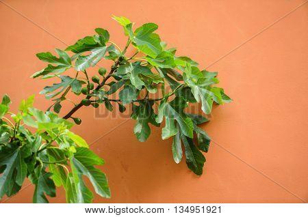 fig tree nea wall