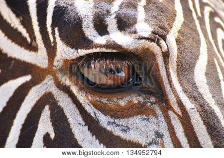 Close up view of a zebra muzzle.