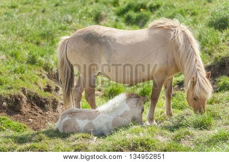 Icelandic horses are rather small and very beautiful. Mare and foal in the meadow