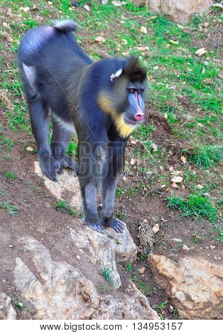 Monkey of mandrill kind in biblical Zoo park of Jerusalem - the zoo park that collects all the animals feartured in the Bible.