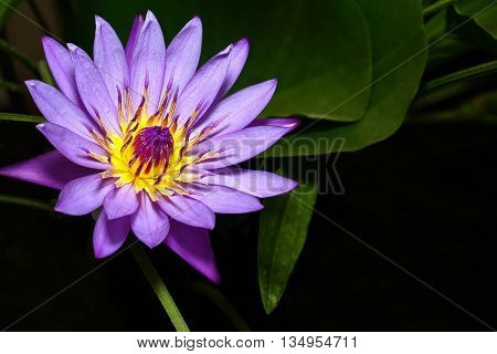 Purple lotus flower blossoming  in the pond