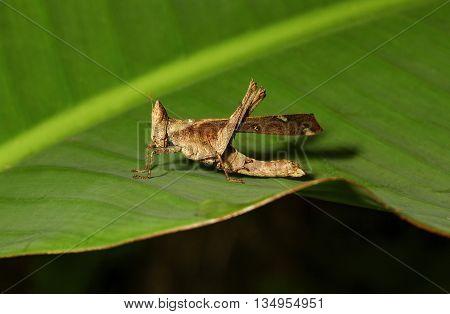 Grasshopper Monkey brown on a green leaf
