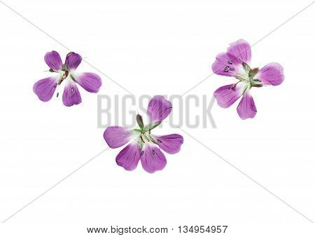 Pressed and dried flowers Geranium pratense. Isolated on white background. For use in scrapbooking pressed floristry (oshibana) or herbarium.