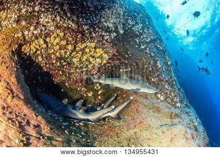 White tip reef sharks at Islas Revillagigedos, Mexico
