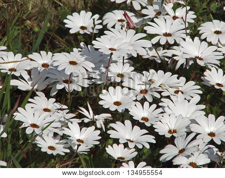 African Daisies, Cape Town South Africa 02
