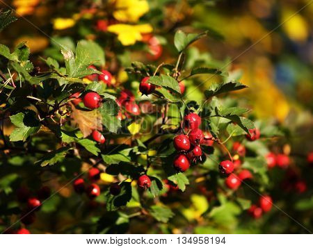 European common hawthorn - Crataegus laevigata in autumn with berries