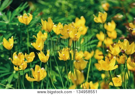 Yellow wild forest tulips spring meadow. Shallow depth focus.