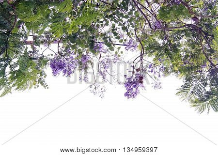 Jacaranda Tree Blossoming