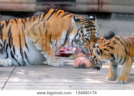 tiger and tiger cub eating piece of meat