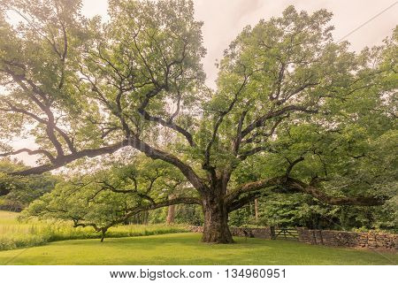 Toned image of 500 year old moss covered Bedford Oak in Bedford NY.