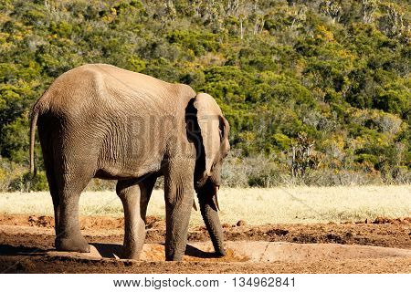 I Wish There Was Water - African Bush Elephant