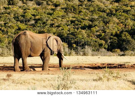 They Taged Me - African Bush Elephant