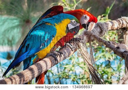 Colourful macaws sitting on the perch. South America