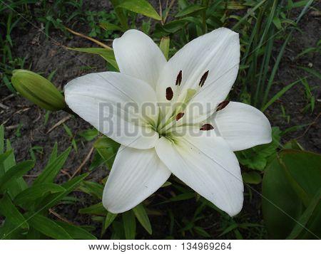 Hybrid lilium 'Donatello' white flower and bud.