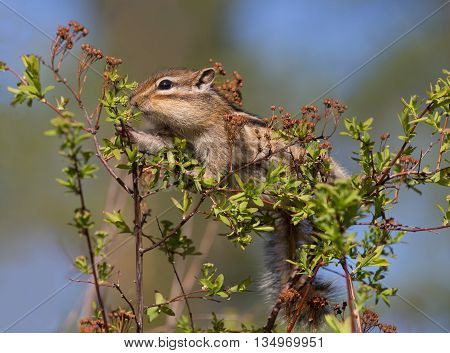 Chipmunk eating young leaves on the bush closeup
